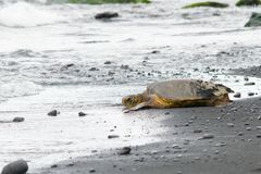 基于一个黑沙子海滩的夏威夷Honu 免版税库存照片