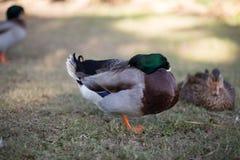基于一只脚的野鸭雄鸭 免版税库存照片