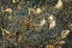 基于一块湿石头的小的螃蟹 免版税库存照片
