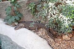 基于一块石头的鳄鱼在一个动物园里在欧洲 库存图片