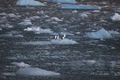 基于一座小冰山的逗人喜爱的北极鸟 斯瓦尔巴特群岛 免版税库存照片