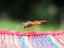 基于一张席子的美丽的蜻蜓在公园 免版税库存照片