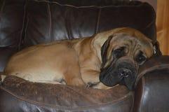 基于一把老椅子的大公纯血统英国大型猛犬狗 库存图片