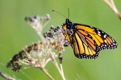 基于一朵干沙漠花的黑脉金斑蝶 免版税库存图片