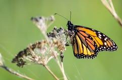 基于一朵干沙漠花的黑脉金斑蝶 库存图片