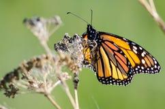 基于一朵干沙漠花的黑脉金斑蝶 库存照片