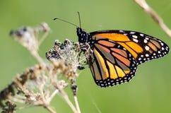 基于一朵干沙漠花的黑脉金斑蝶 图库摄影
