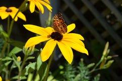 基于一朵黑眼睛的苏珊花的蝴蝶 库存图片
