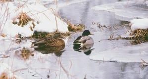 基于一条小河的野鸭在冬天 免版税库存图片