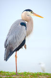 基于一条腿的伟大蓝色的苍鹭的巢 免版税库存照片
