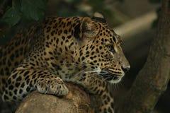 基于一棵树的危险的阿穆尔河豹子在自然栖所 免版税图库摄影