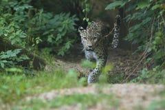 基于一棵树的危险的阿穆尔河豹子在自然栖所 库存图片