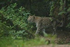 基于一棵树的危险的阿穆尔河豹子在自然栖所 免版税库存照片