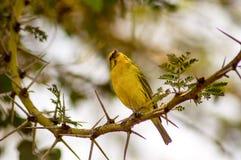 基于一棵黑金合欢树的织布工鸟在马塞人玛拉公园  免版税库存图片