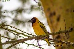 基于一棵黑金合欢树的织布工鸟在马塞人玛拉公园  库存图片