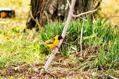 基于一棵黑金合欢树的织布工鸟在马塞人玛拉公园  免版税库存照片