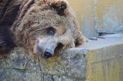 基于一热的天的熊 免版税库存图片