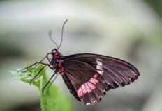 基于一片绿色叶子的一黑swallowtail的宏指令 免版税库存图片
