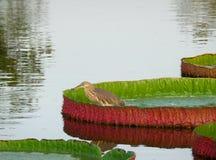 基于充满活力的绿色和红颜色维多利亚莲花叶子的一只中国池塘苍鹭鸟 库存图片