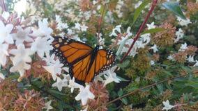 基于六道木属灌木开花的黑脉金斑蝶 免版税库存图片