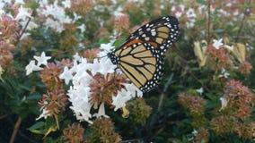 基于六道木属灌木开花2的黑脉金斑蝶 免版税库存图片