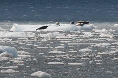 基于冰的海狮 库存图片