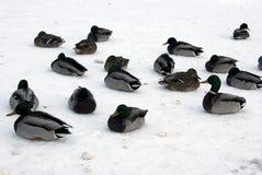 基于冰的鸭子 免版税库存照片