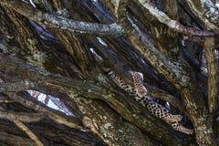 基于分支的幼小豹子 serengeti坦桑尼亚 库存图片