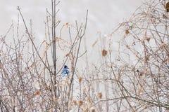 基于分支的蓝色尖嘴鸟在一个多雪的冬天早晨 免版税图库摄影