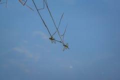 基于分支的蜻蜓的水表面上的反射 库存图片