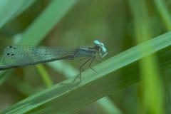基于叶子画象的蜻蜓 库存照片