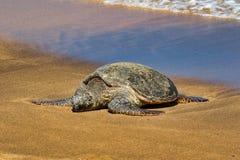 基于在毛伊的海滩的绿浪乌龟 图库摄影