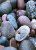 基于在海滩的岩石的瓢虫 免版税库存图片