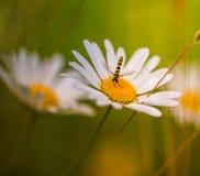 基于在软和温暖的光的一朵雏菊雏菊花的Hoverfly昆虫 图库摄影