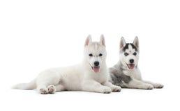 基于地板的西伯利亚爱斯基摩人两只小狗在活动以后 免版税库存图片