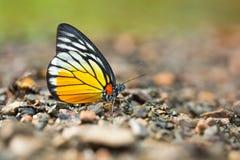 基于地面的美丽的蝴蝶特写镜头 免版税库存图片
