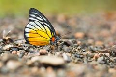 基于地面的美丽的蝴蝶特写镜头 免版税库存照片