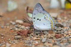 基于地面的美丽的蝴蝶特写镜头 图库摄影