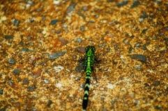 基于地面的蜻蜓 库存图片