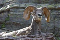 基于壁架的大角野绵羊 库存照片