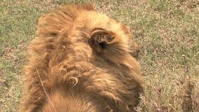 基于大草原的狮子 影视素材