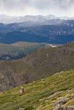 基于山坡的婴孩落矶山脉大垫铁绵羊 免版税库存照片