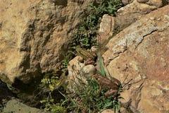 基于岩石的两只青蛙在蝌蚪池塘附近 库存照片