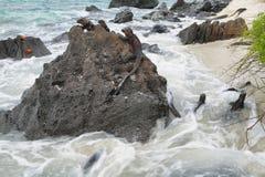 基于岩石的加拉帕戈斯海产鬣蜥蜴 库存照片