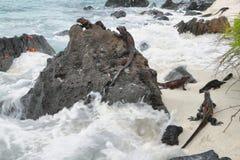 基于岩石的加拉帕戈斯海产鬣蜥蜴 免版税库存图片