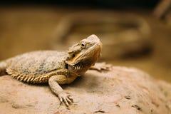基于岩石的平被盯梢的沙漠有角的蜥蜴的图片 图库摄影