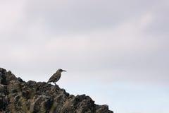 基于岩石的敞篷模仿鸟 图库摄影