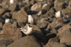 基于岩石的燕鸥 库存图片