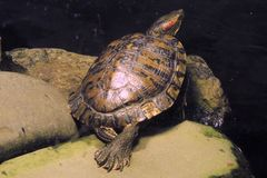 基于岩石的草龟在动物园 免版税库存图片