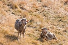 基于干草的两只美利奴绵羊 免版税图库摄影